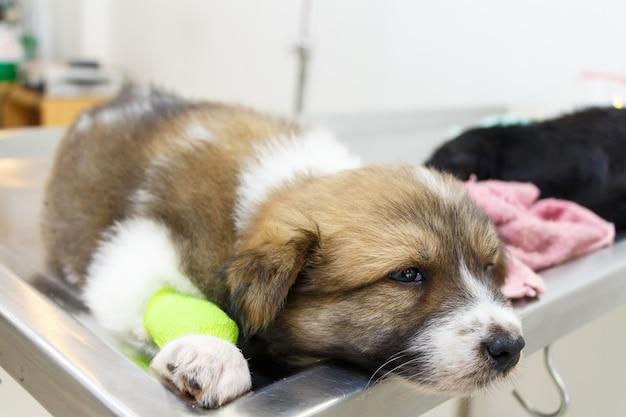 Kranker welpe (thailändischer bangkaew-hund) mit katheter an seinem bein