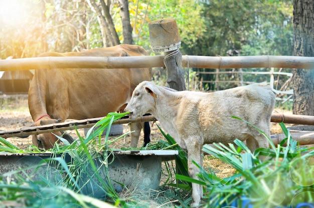 Krankes kalb, das gras mit brauner kuh isst