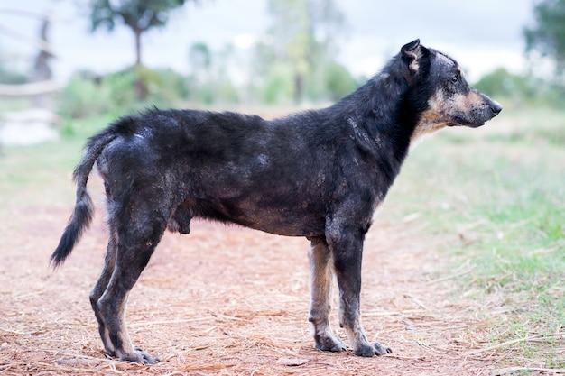 Krankes lepra-hautproblem des hundes.