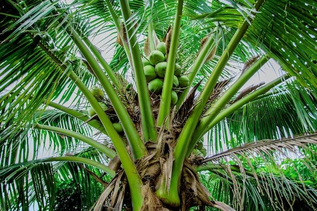 Krankheiten von kokosnussbäumen