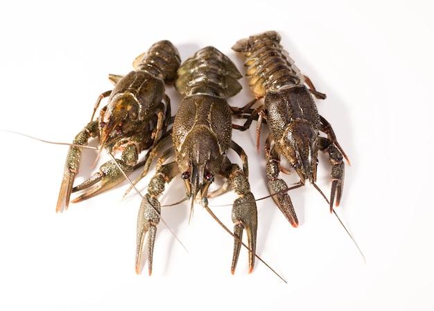Krebse leben isoliert auf einem weißen hintergrund. rohe langusten. frischer snack mit meeresfrüchten.