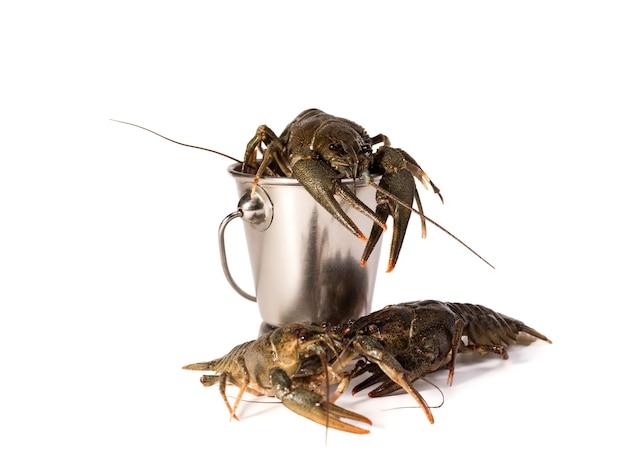 Krebse leben platziert in metallischem eimer lokalisiert auf einem weißen hintergrund. rohe langusten. frischer snack mit meeresfrüchten.