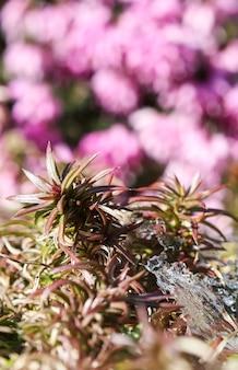 Kristalleis und wachsende pflanzen auf einem verschwommenen hintergrund aus rosa blüten in einem frühlingsgarten