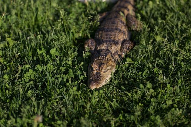 Krokodil-alligator