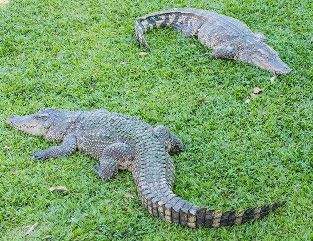 Krokodil, alligatoren auf gras