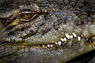 Krokodil, augen