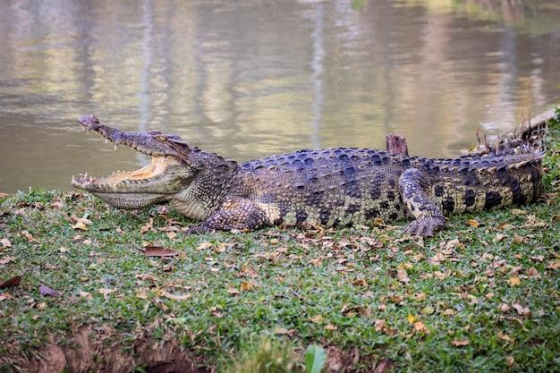 Krokodil im gras. reptil.