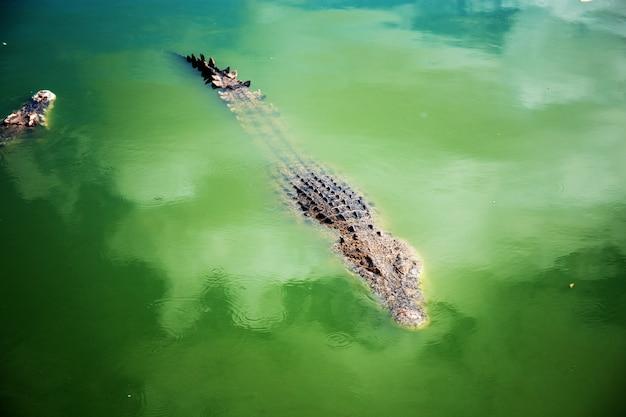 Krokodil im teich des bauernhofes.
