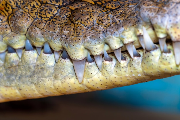 Krokodil in freier wildbahn auf der insel sri lanka