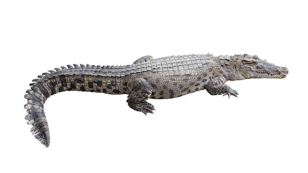 Krokodil isoliert auf weiß