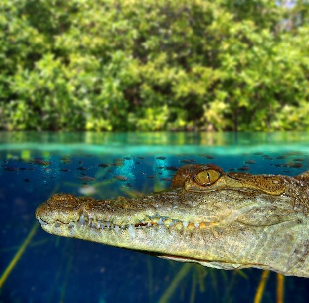 Krokodil-kaiman, der im mangrovensumpf schwimmt