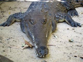 Krokodil, repltile