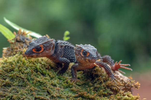 Krokodil-skink-eidechse in ihrer umgebung