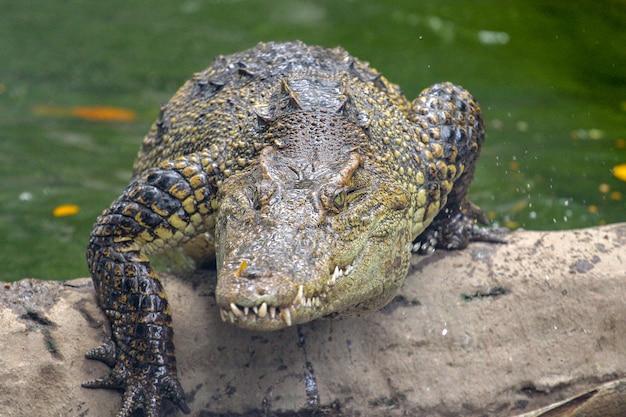 Krokodilangriff vom fluss bei thailand