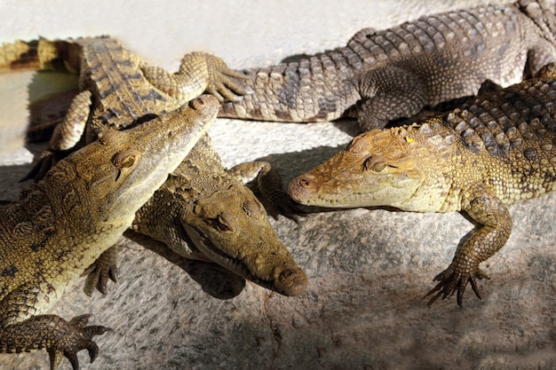 Krokodile, die ein sonnenbad in südamerika haben