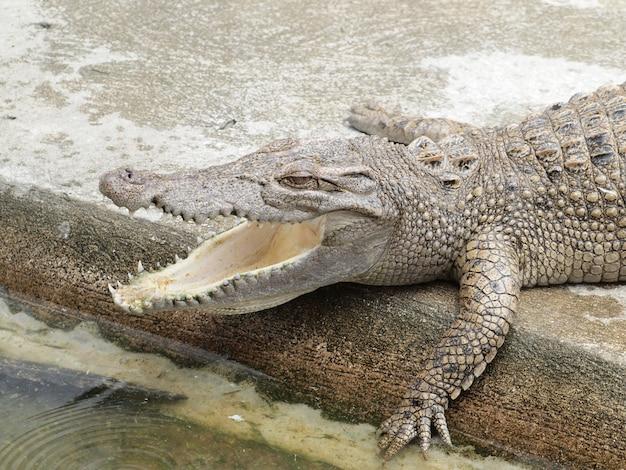 Krokodile hautnah in thailand
