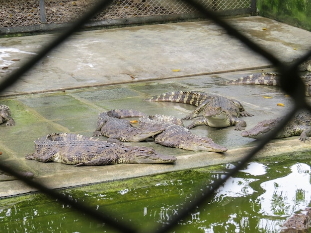 Krokodile öffnen den mund am hof.
