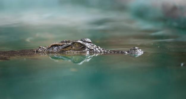 Krokodilgesicht und reflexion im wasser