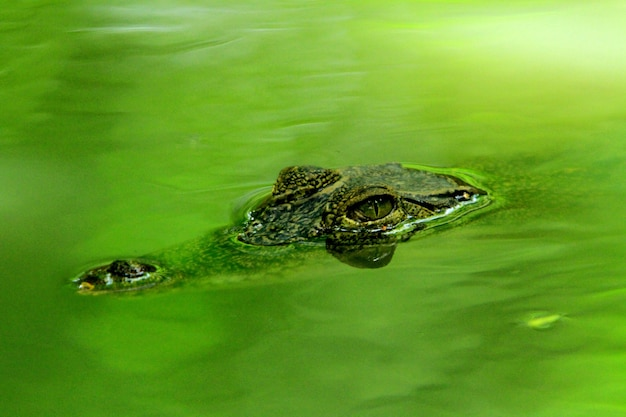 Krokodilkopf erschien auf der wasseroberfläche