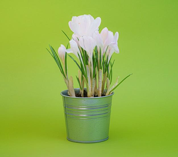 Krokus, plural krokusse oder krokus ist eine gattung von blütenpflanzen in der familie der schwertlilien. krokus auf grünem hintergrund.