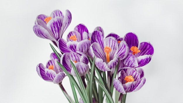 Krokusblüte des ersten frühlings blüht lila auf licht mit kopienraum für frauen oder muttertag.