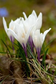 Krokusblütenblüte im feldfrühling