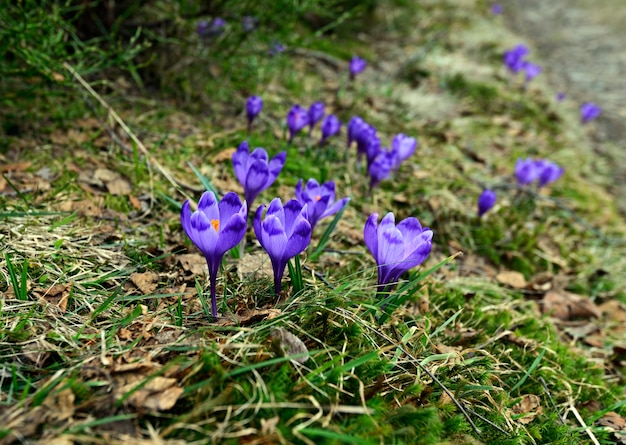 Krokusfrühlingsblumen auf einer bergwiese