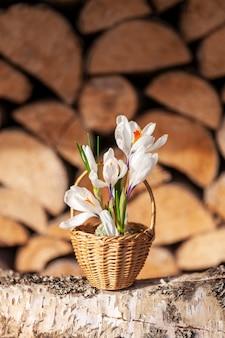 Krokusse erste frühlingsblumen in einem kleinen korb