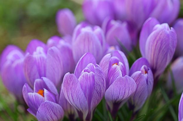 Krokusse. frühlingsblumen. blühende purpurrote krokusse auf einer lichtung in der sonne.