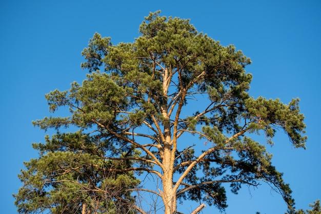 Krone der grünen kiefer gegen blauen himmel