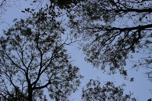 Kronenbäume des himmels