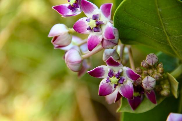 Kronenblumenanlage mit blatt