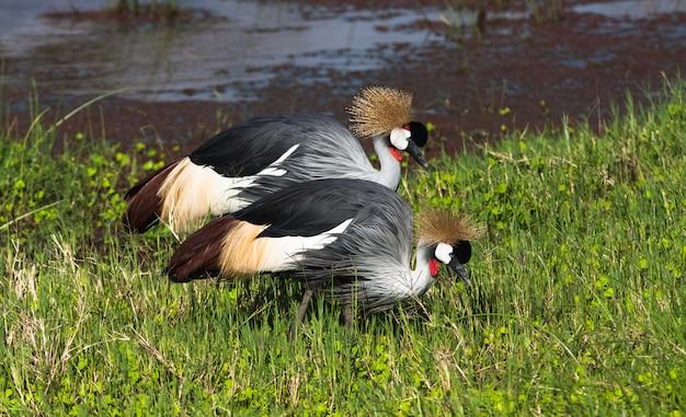 Kronkran. zwei vögel. samburu, kenia