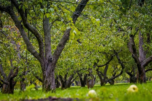 Krumme apfelbäume im park