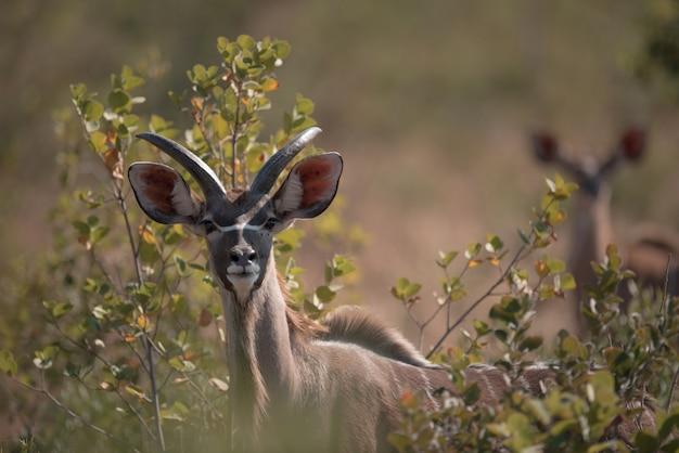 Kudu schaut zwischen den zweigen