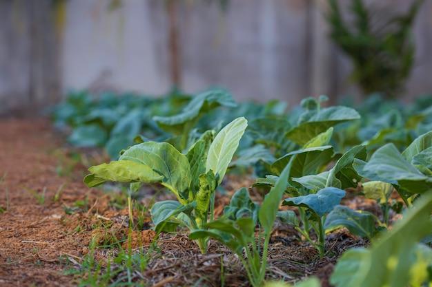 Küchenkohlgarten mit jungem frischgemüse.