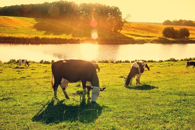 Kühe am fluss in den strahlen des sonnenuntergangs