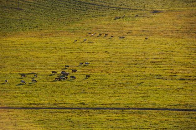 Kühe an einem sonnigen sommerabend