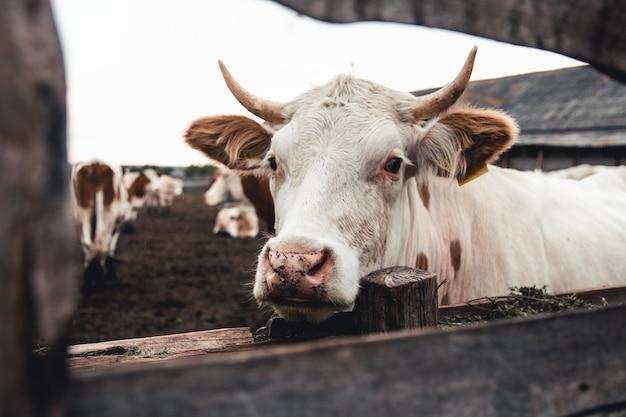 Kühe auf dem formular