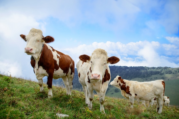 Kühe auf den almen