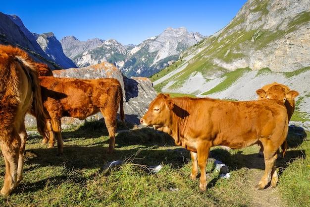 Kühe auf der alm, pralognan la vanoise, französische alpen