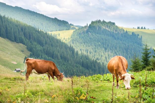 Kühe auf der grünen wiese in den bergen. bauernhoflandschaft