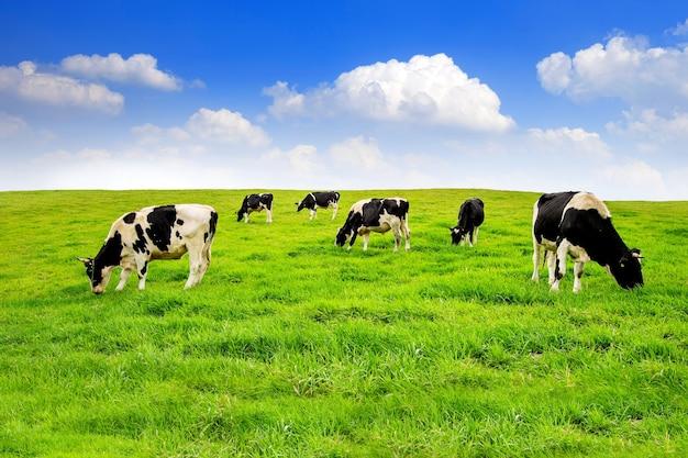 Kühe auf einer grünen wiese