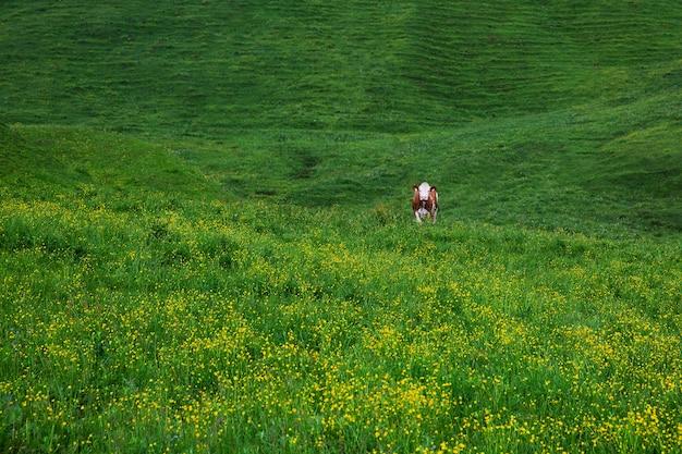 Kühe auf grüner wiese. morgen im morgengrauen in den alpen, österreich, rauris. naturlandschaft