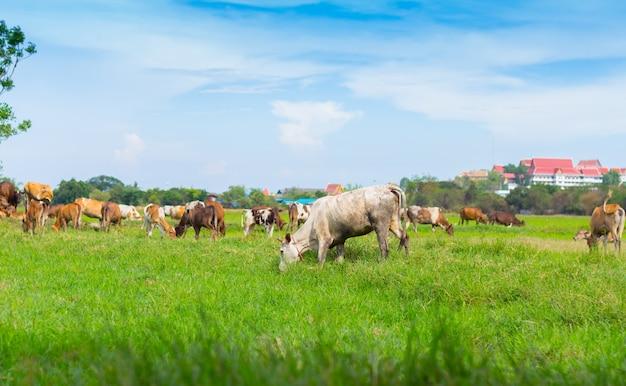 Kühe, die auf bauernhof mit grünem feld am tag des guten wetters weiden lassen