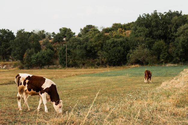 Kühe, die auf einem grünen feld in der landschaft weiden lassen