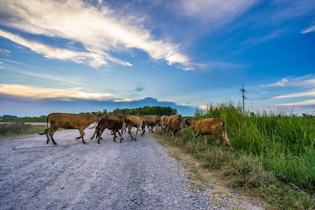 Kühe, die eine landstraße kreuzen