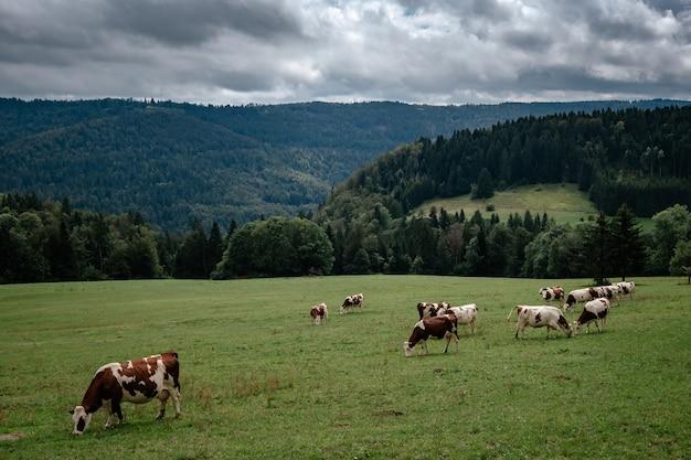 Kühe, die in den tiroler alpen auf der bergmilchkäsewerbung weiden lassen. im kanton bern, schweiz.