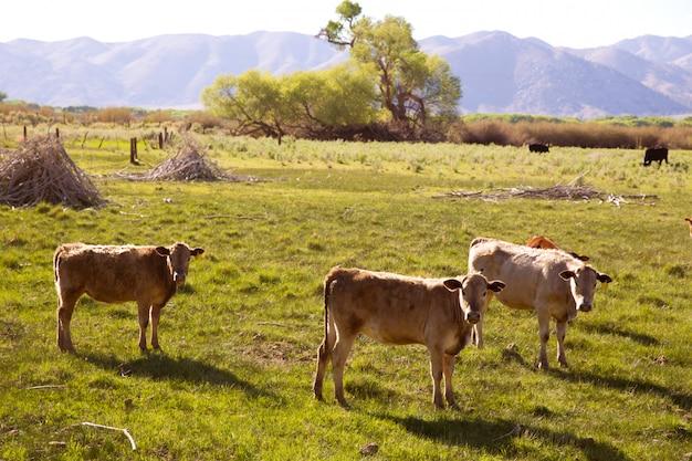 Kühe, die in kalifornien-wiesen weiden lassen