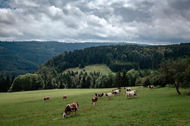 Kühe, die in tyrolalpen auf den bergen grasen